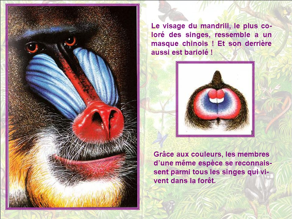 Le visage du mandrill, le plus co-loré des singes, ressemble a un masque chinois ! Et son derrière aussi est bariolé !