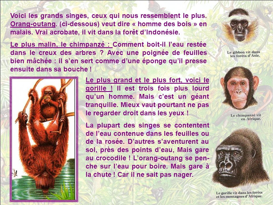 Voici les grands singes, ceux qui nous ressemblent le plus