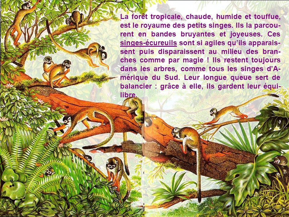 La forêt tropicale, chaude, humide et touffue, est le royaume des petits singes.