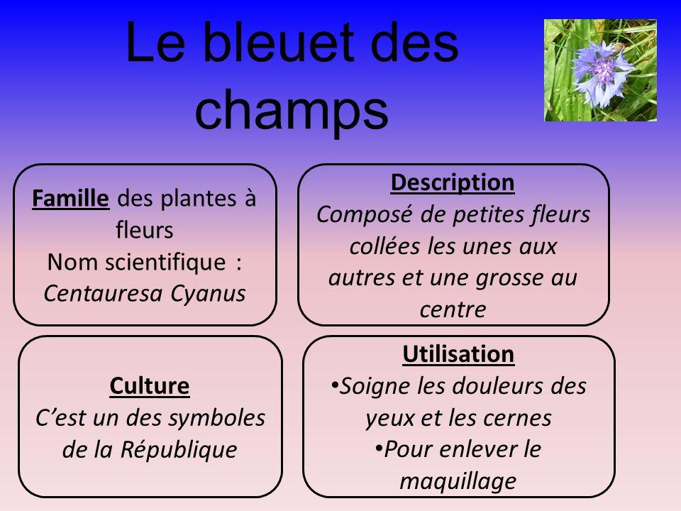 Le bleuet des champs Famille des plantes à fleurs