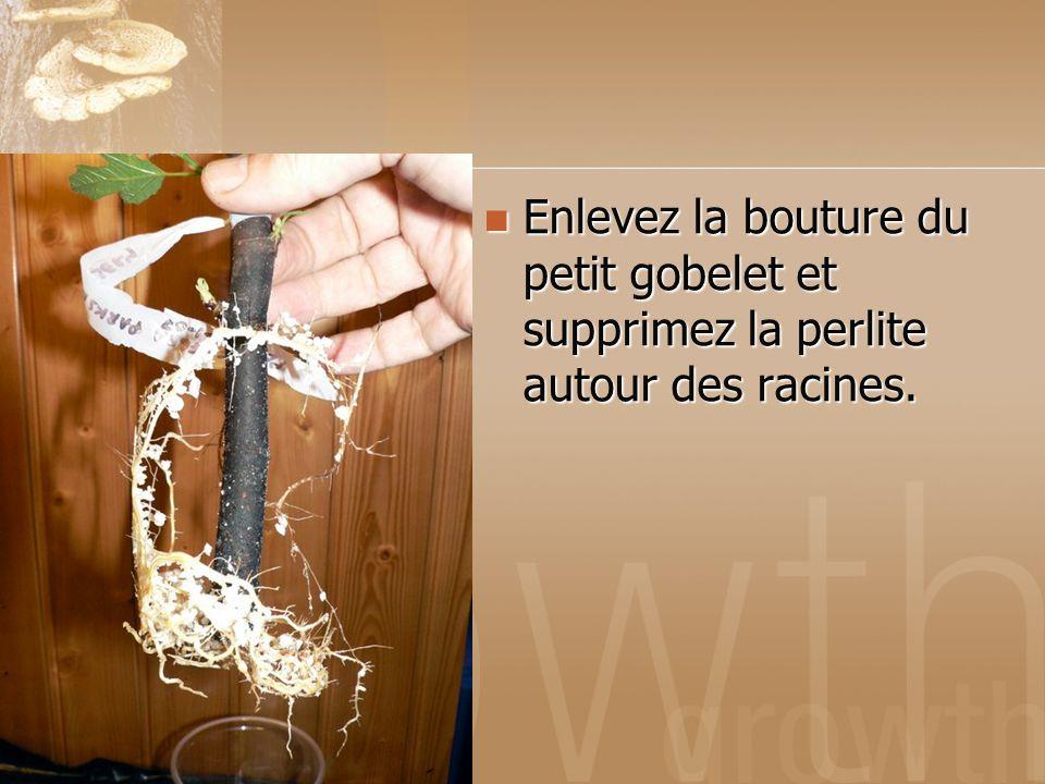 Enlevez la bouture du petit gobelet et supprimez la perlite autour des racines.