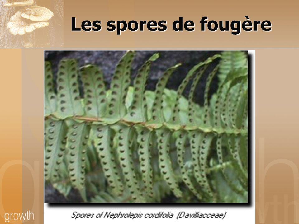 Les spores de fougère