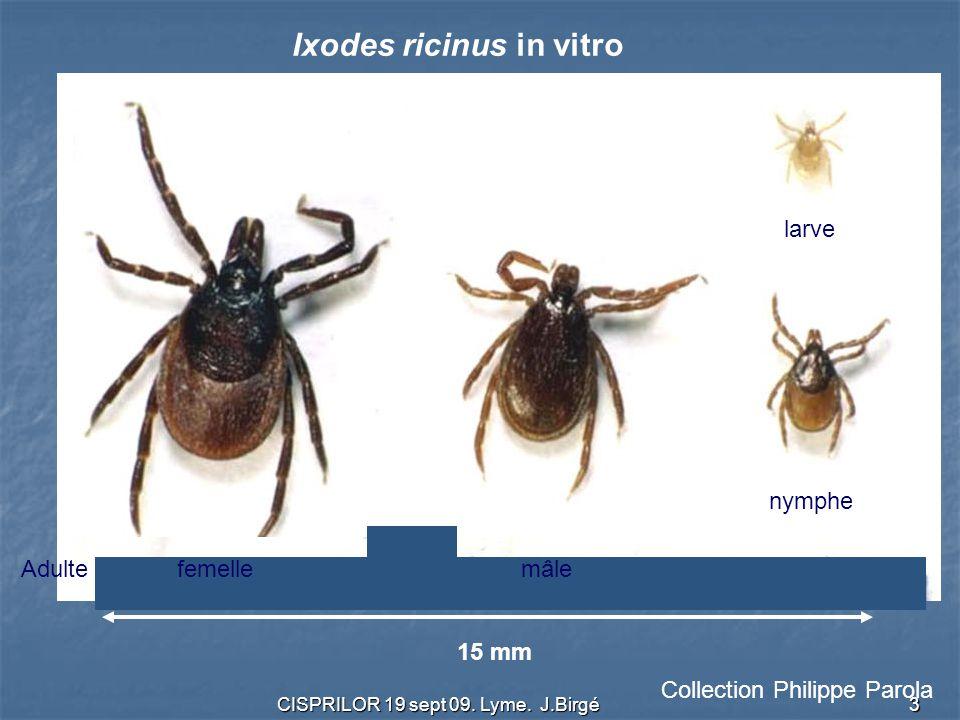 Ixodes ricinus in vitro