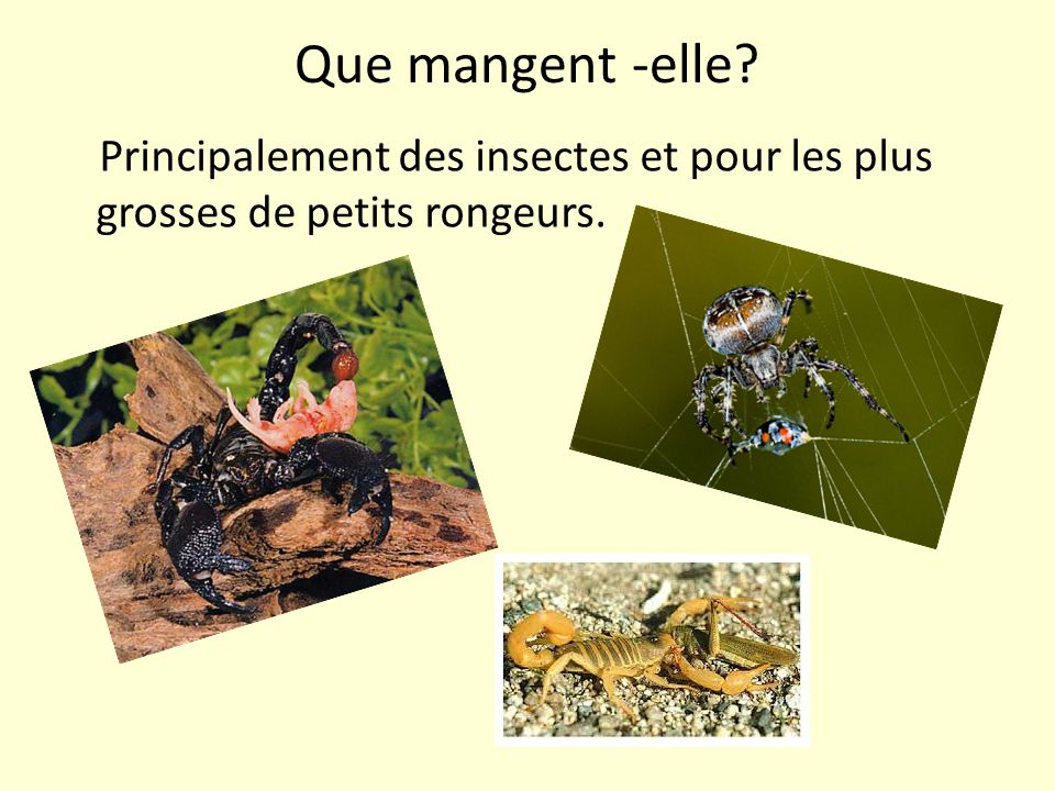 Que mangent -elle Principalement des insectes et pour les plus grosses de petits rongeurs.