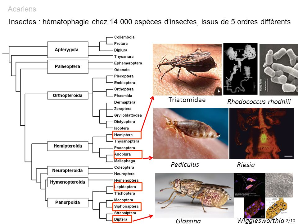 Insectes Acariens. : hématophagie chez 14 000 espèces d'insectes, issus de 5 ordres différents. Triatomidae.