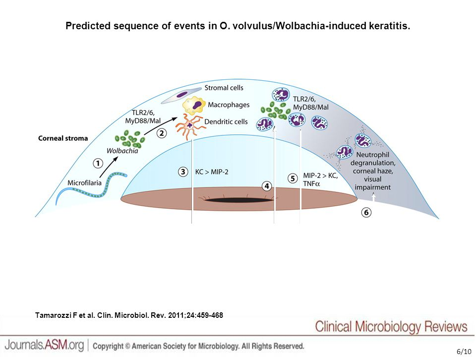 Predicted sequence of events in O. volvulus/Wolbachia-induced keratitis.
