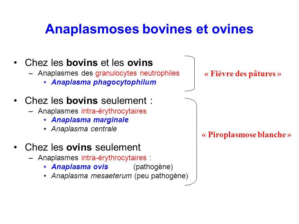 Anaplasmoses bovines et ovines
