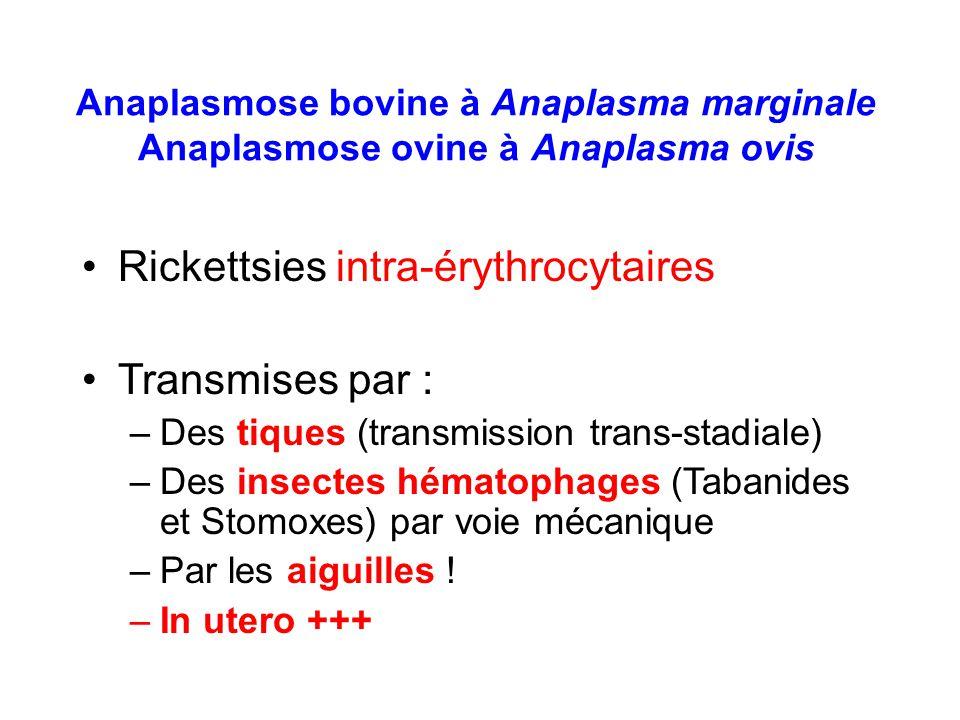 Rickettsies intra-érythrocytaires Transmises par :