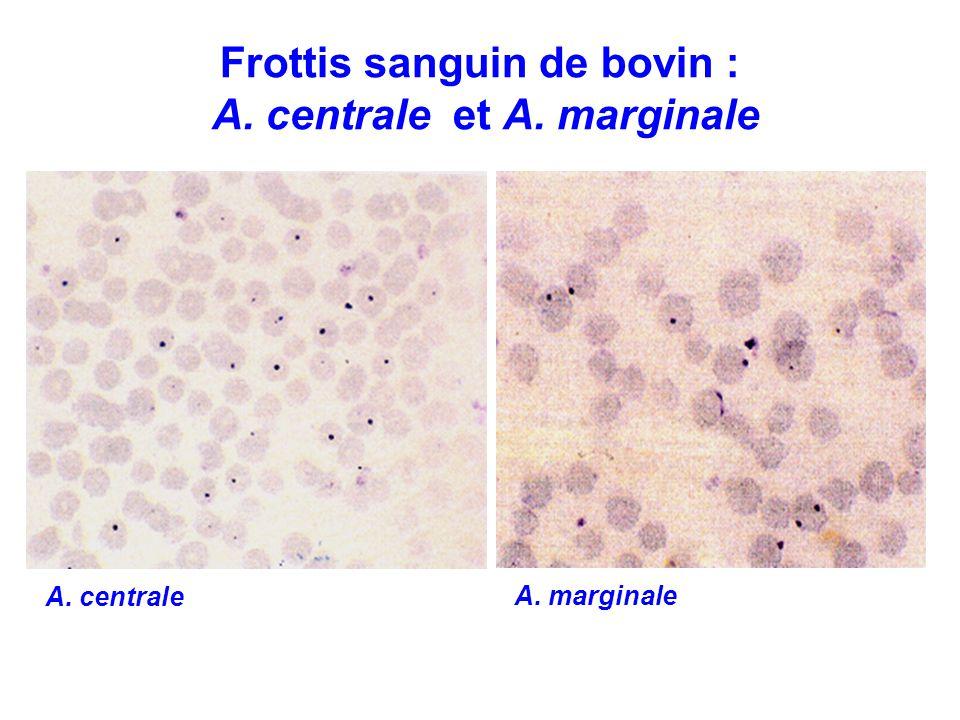 Frottis sanguin de bovin : A. centrale et A. marginale