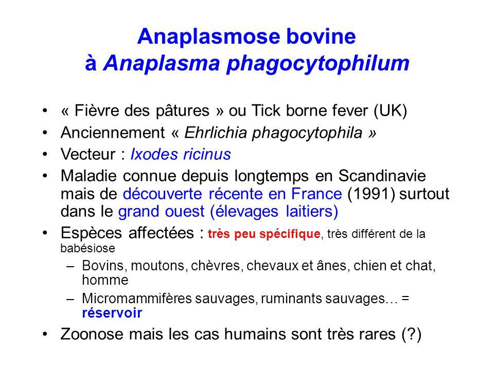 Anaplasmose bovine à Anaplasma phagocytophilum