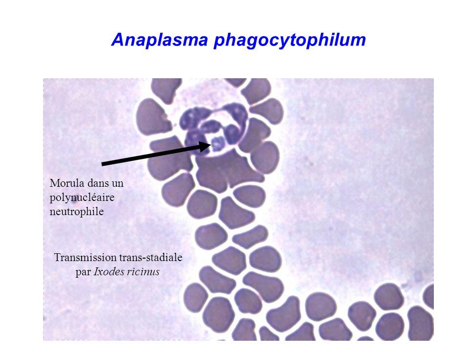 Anaplasma phagocytophilum