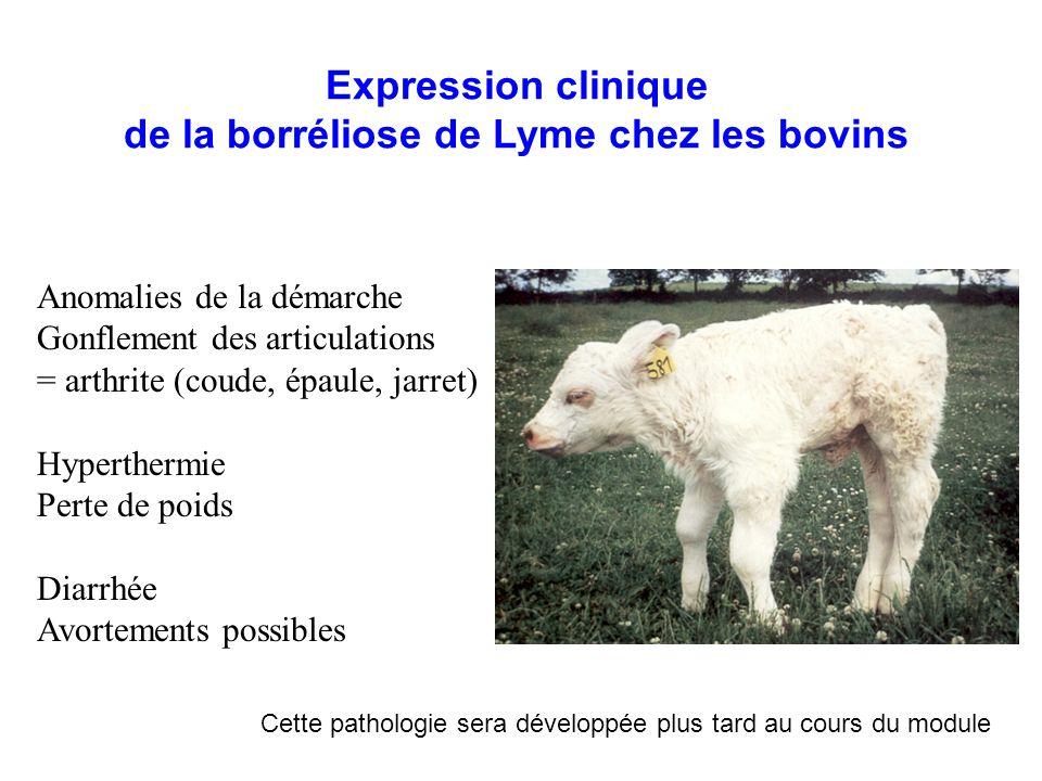 Expression clinique de la borréliose de Lyme chez les bovins