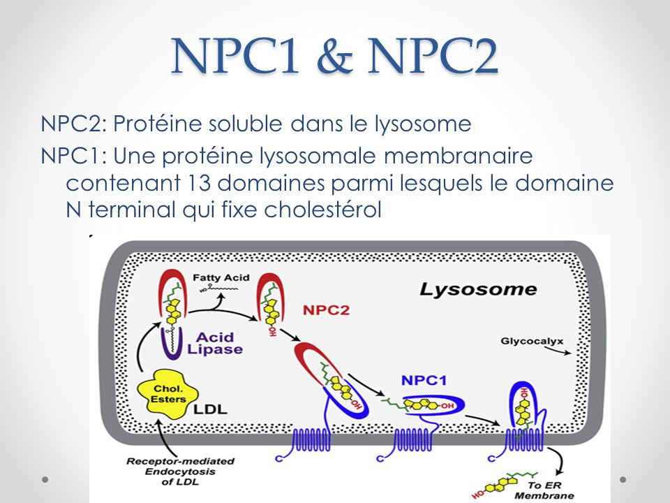 NPC1 & NPC2 NPC2: Protéine soluble dans le lysosome