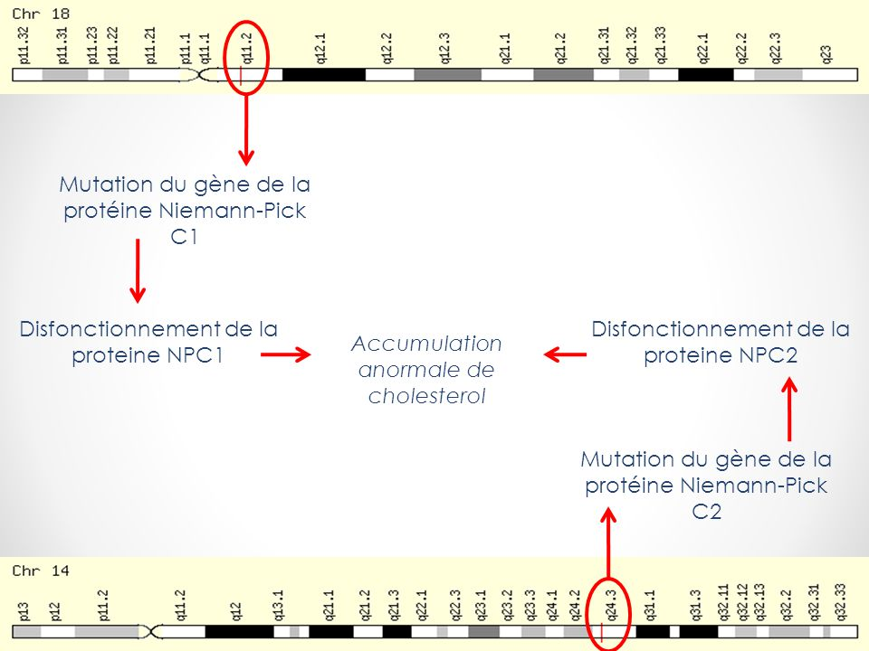 Mutation du gène de la protéine Niemann-Pick C1