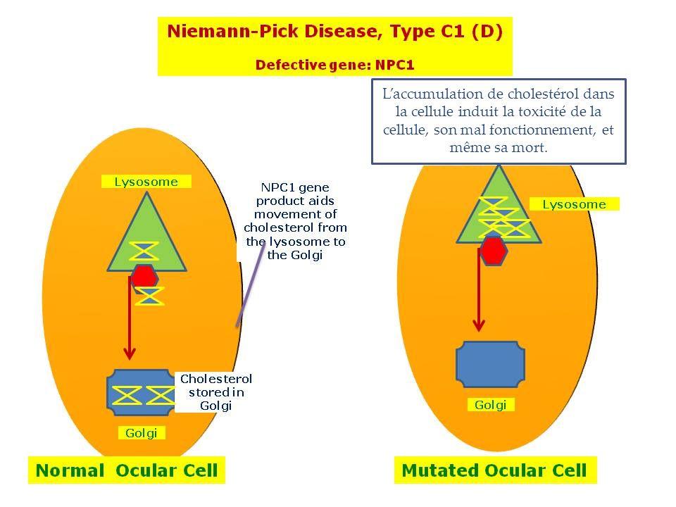 L'accumulation de cholestérol dans la cellule induit la toxicité de la cellule, son mal fonctionnement, et même sa mort.