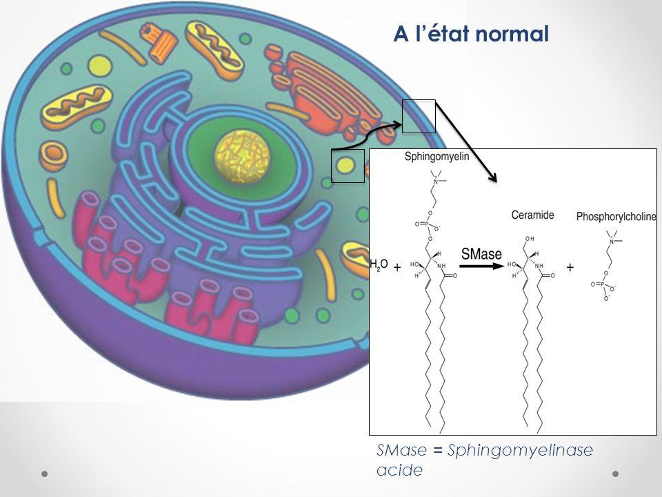 A l'état normal SMase = Sphingomyelinase acide