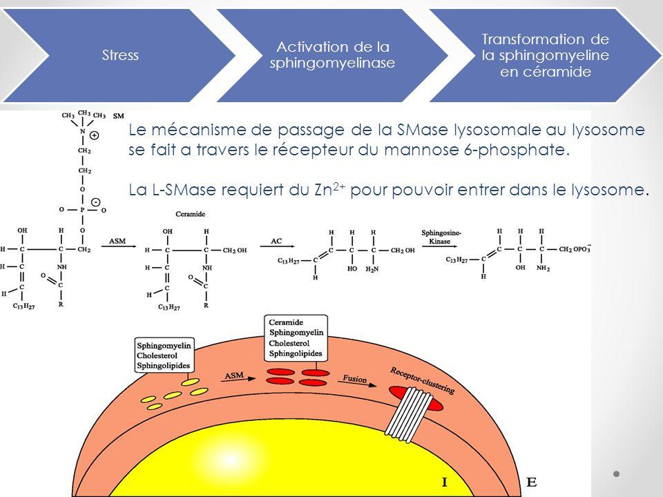 La L-SMase requiert du Zn2+ pour pouvoir entrer dans le lysosome.