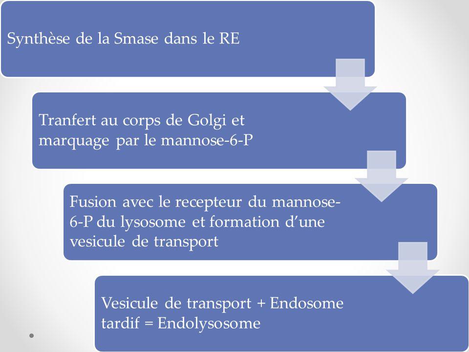 Synthèse de la Smase dans le RE