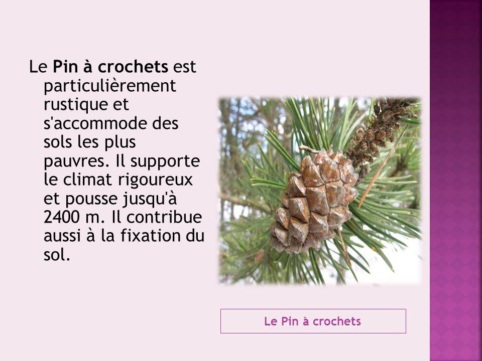 Le Pin à crochets est particulièrement rustique et s accommode des sols les plus pauvres. Il supporte le climat rigoureux et pousse jusqu à 2400 m. Il contribue aussi à la fixation du sol.