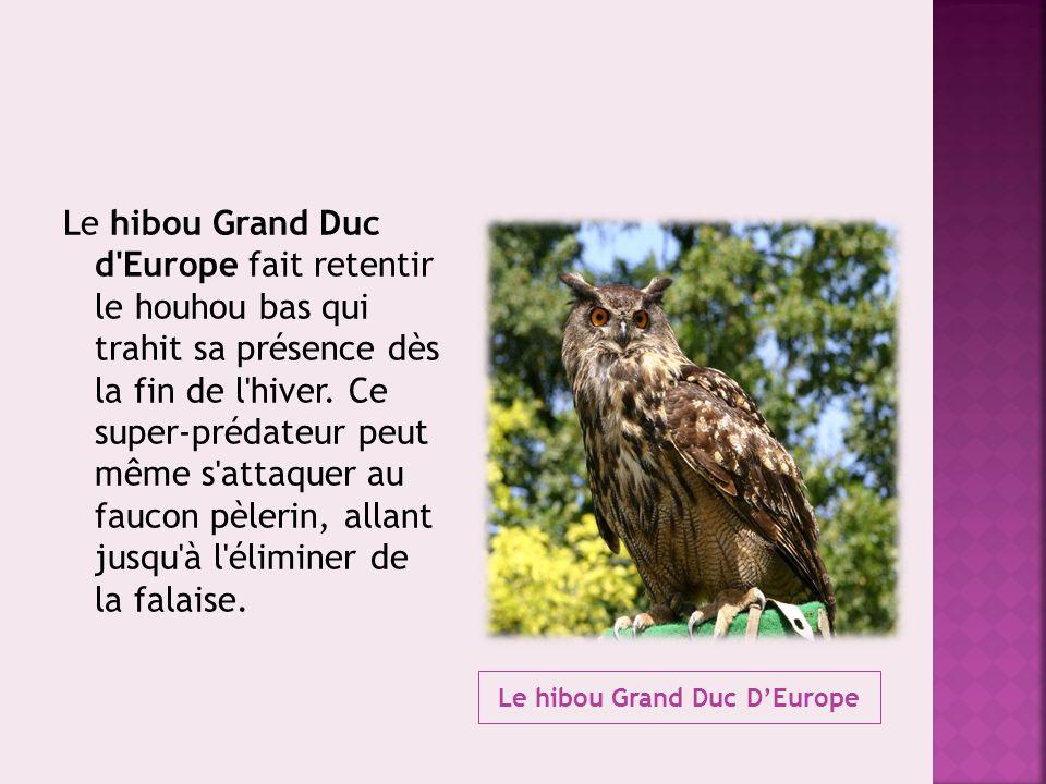 Le hibou Grand Duc D'Europe