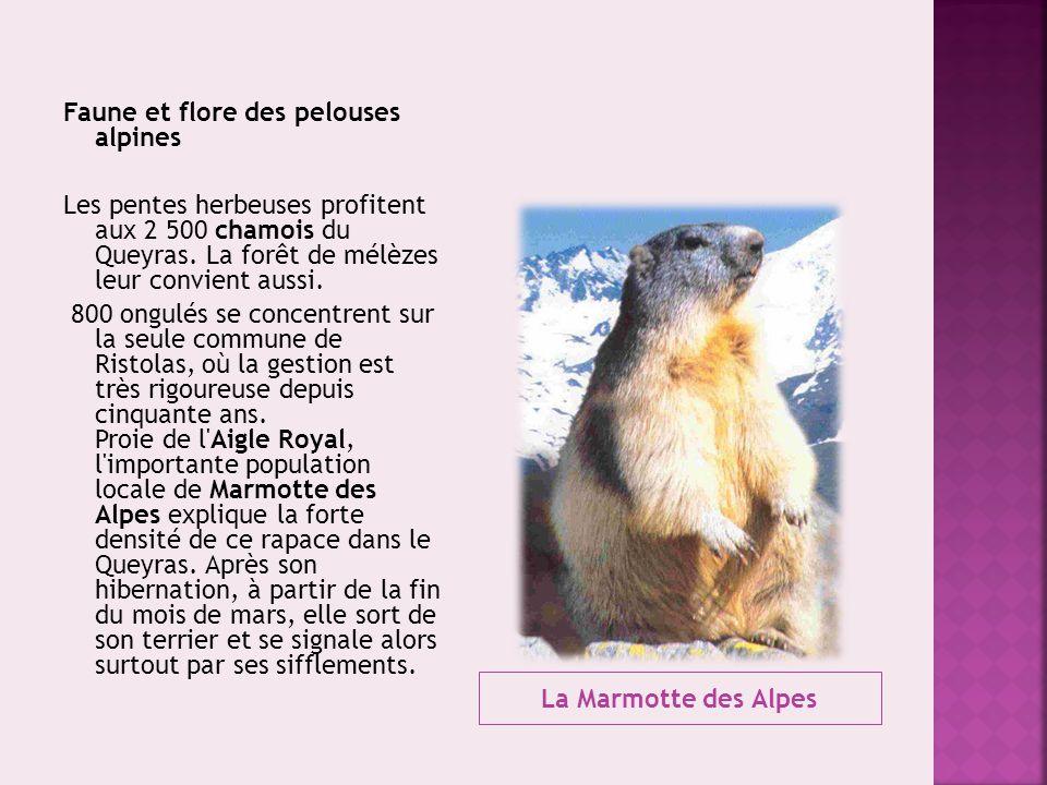 Faune et flore des pelouses alpines