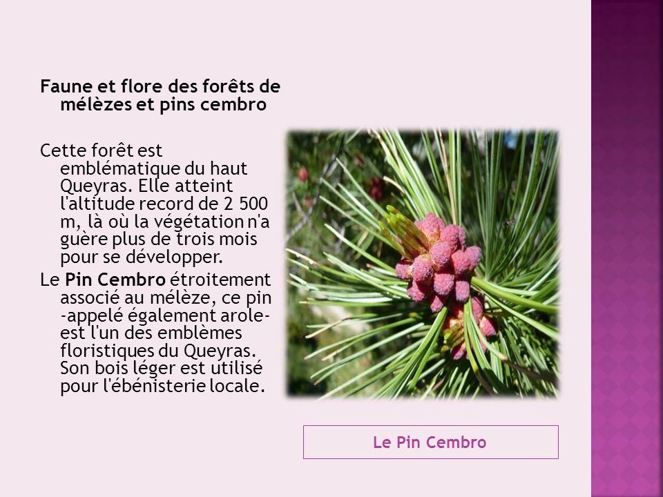 Faune et flore des forêts de mélèzes et pins cembro Cette forêt est emblématique du haut Queyras. Elle atteint l altitude record de 2 500 m, là où la végétation n a guère plus de trois mois pour se développer. Le Pin Cembro étroitement associé au mélèze, ce pin -appelé également arole- est l un des emblèmes floristiques du Queyras. Son bois léger est utilisé pour l ébénisterie locale.