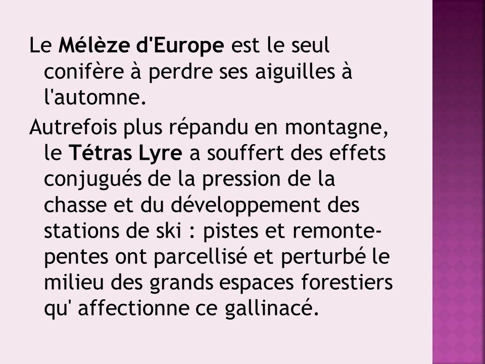 Le Mélèze d Europe est le seul conifère à perdre ses aiguilles à l automne.