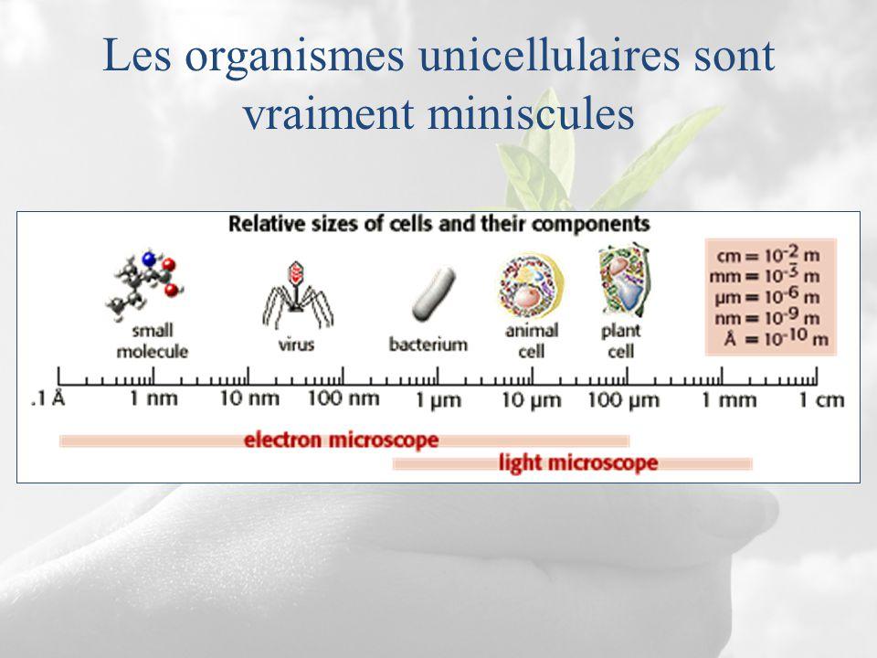 Les organismes unicellulaires sont vraiment miniscules