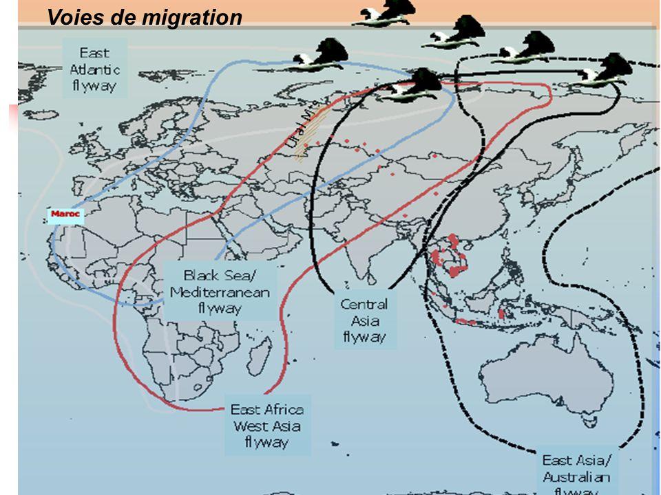 Voies de migration