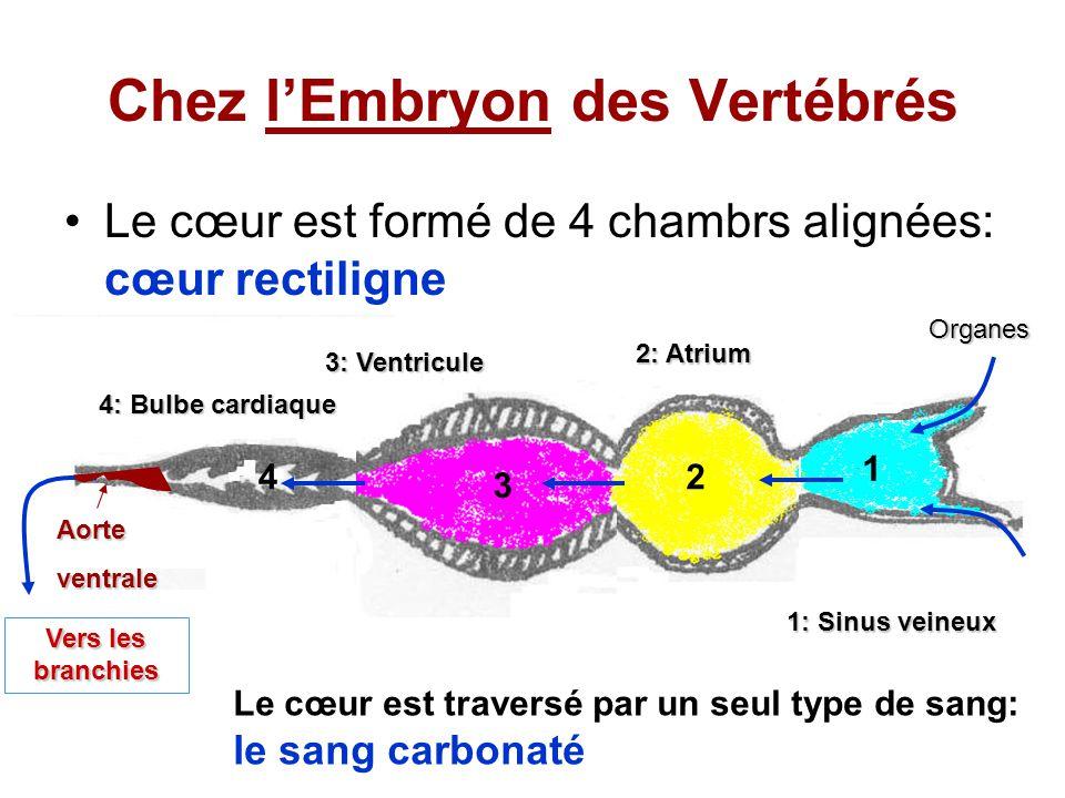 Chez l'Embryon des Vertébrés