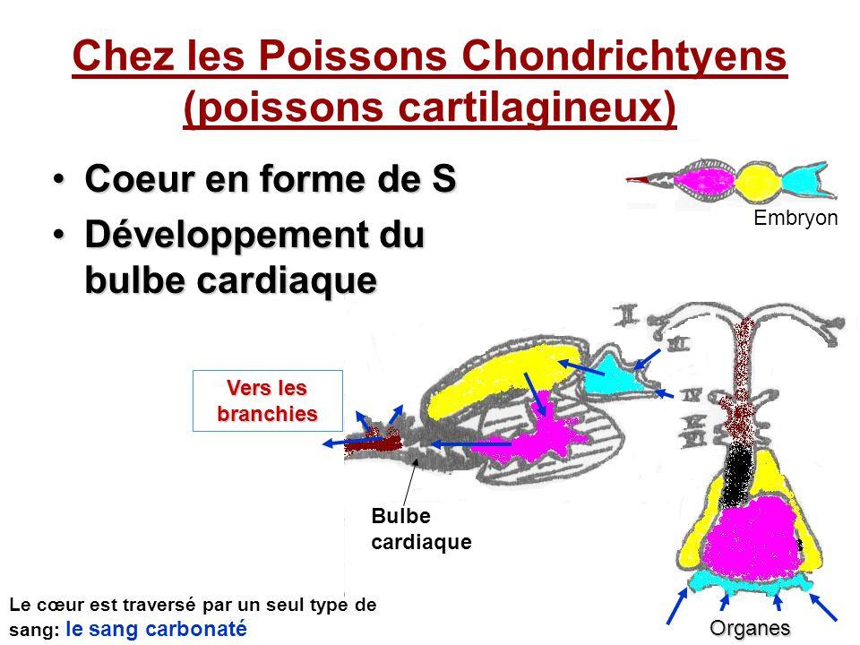 Chez les Poissons Chondrichtyens (poissons cartilagineux)