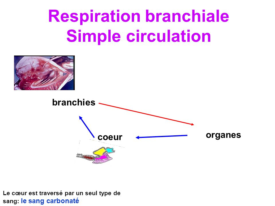 Respiration branchiale Simple circulation