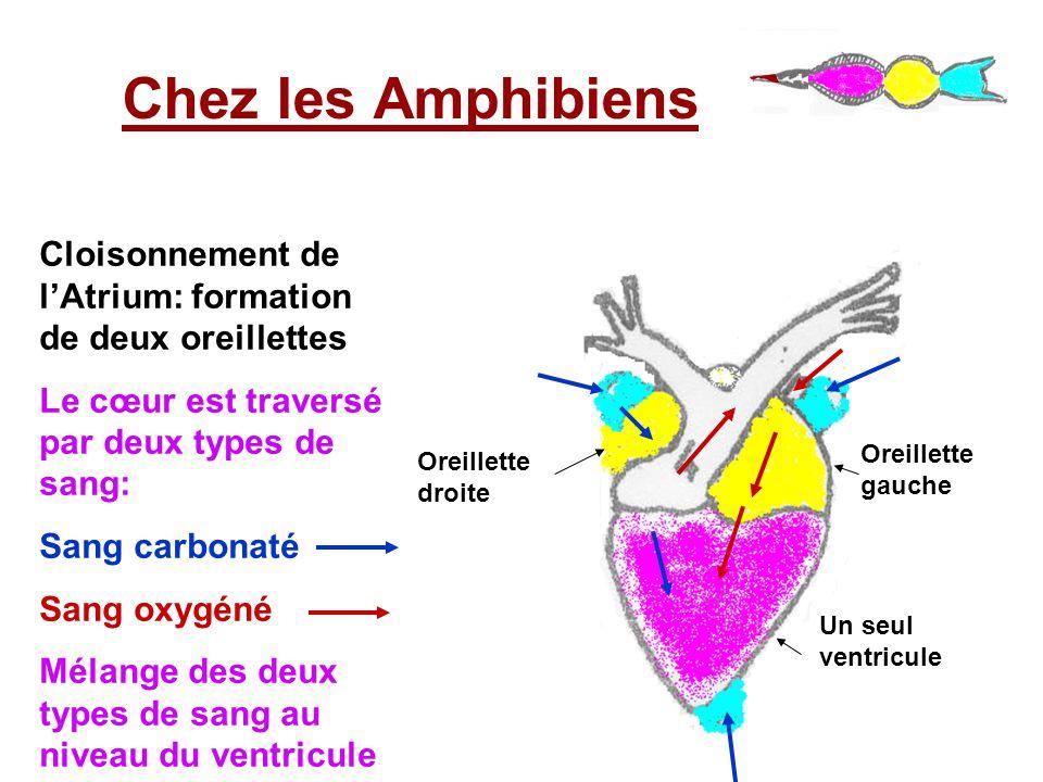Chez les Amphibiens Cloisonnement de l'Atrium: formation de deux oreillettes. Le cœur est traversé par deux types de sang: