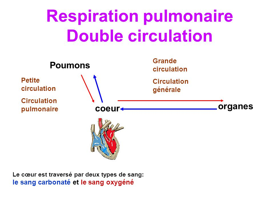 Respiration pulmonaire Double circulation