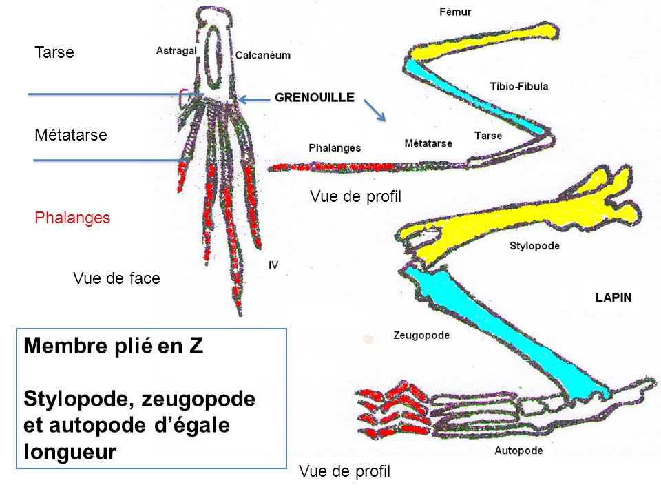 Stylopode, zeugopode et autopode d'égale longueur