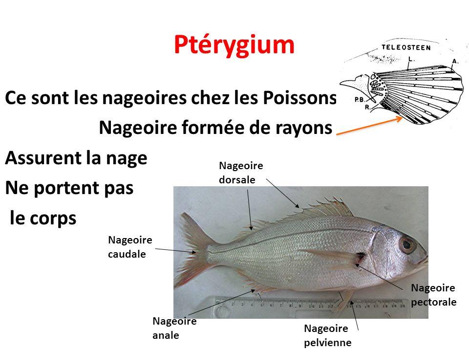 Ptérygium Ce sont les nageoires chez les Poissons Nageoire formée de rayons Assurent la nage Ne portent pas le corps