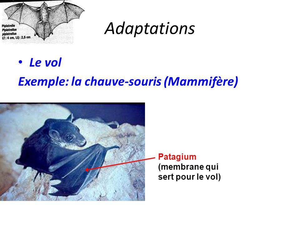 Adaptations Le vol Exemple: la chauve-souris (Mammifère) Patagium
