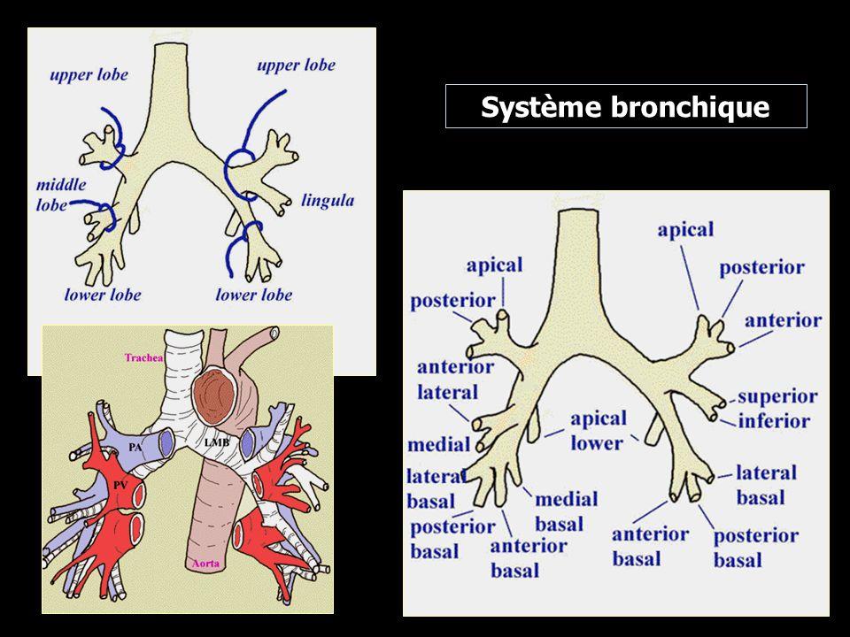 Système bronchique