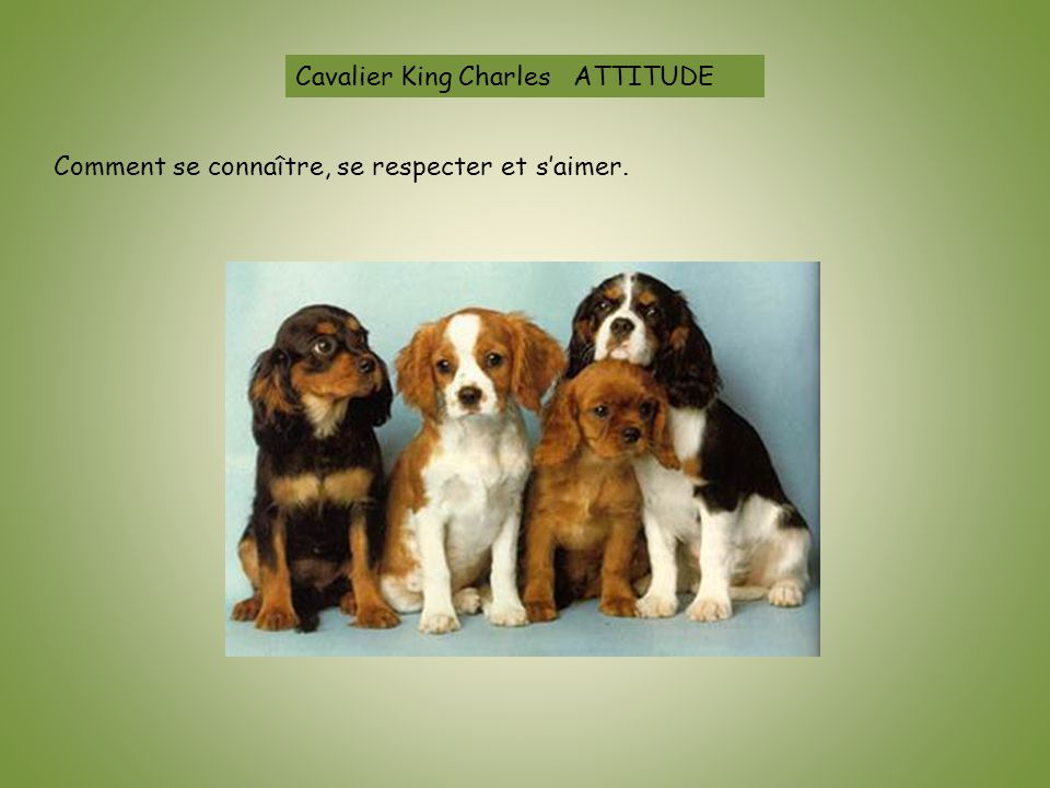 Cavalier King Charles ATTITUDE