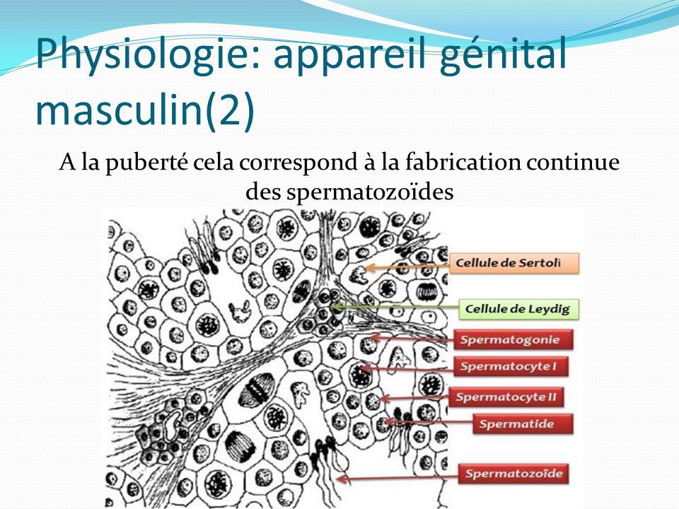 Physiologie: appareil génital masculin(2)