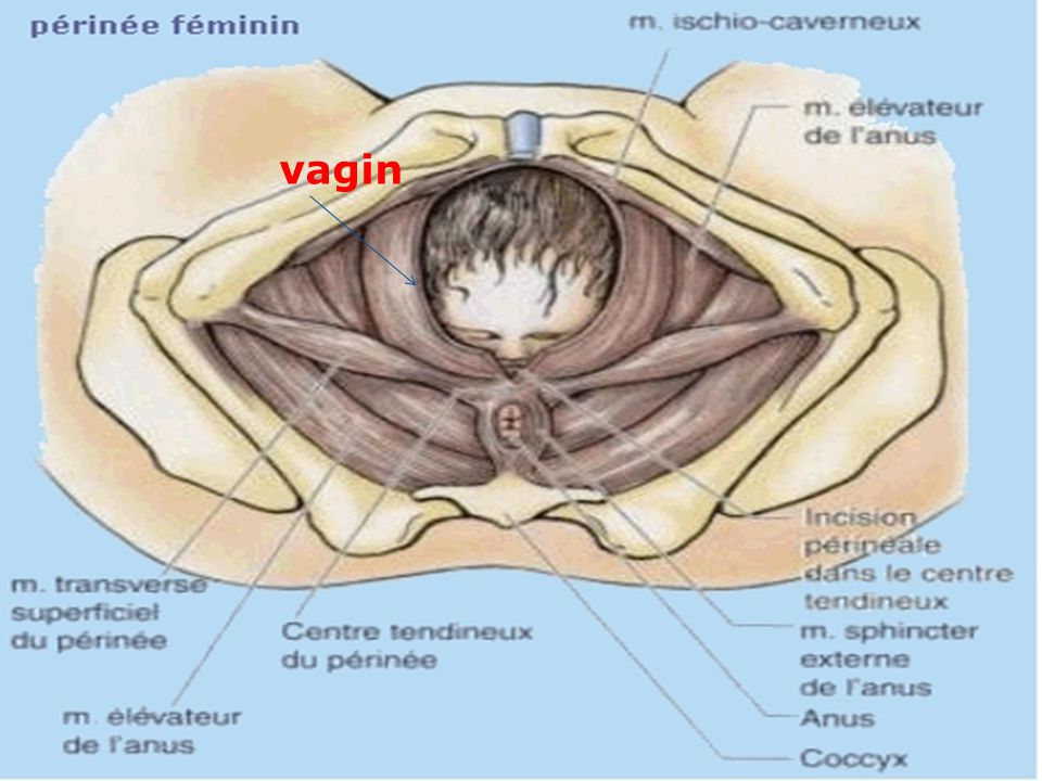 Anatomie physiologie appareil genital ppt video online for L interieur du vagin