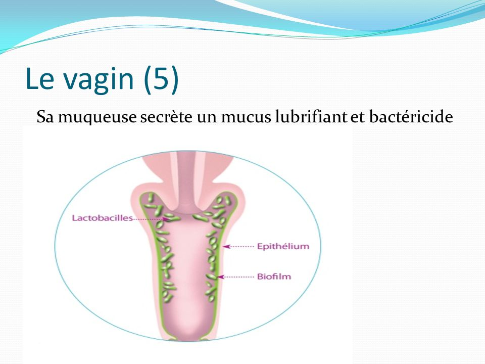 Anatomie physiologie appareil genital ppt video online for Interieur vagin