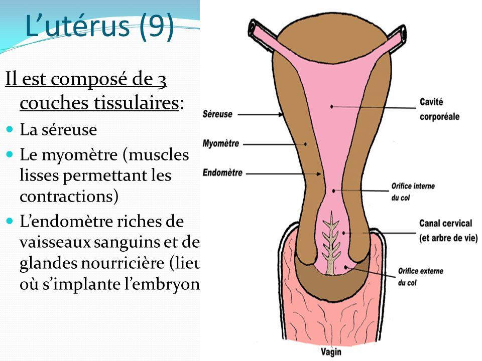 L'utérus (9) Il est composé de 3 couches tissulaires: La séreuse