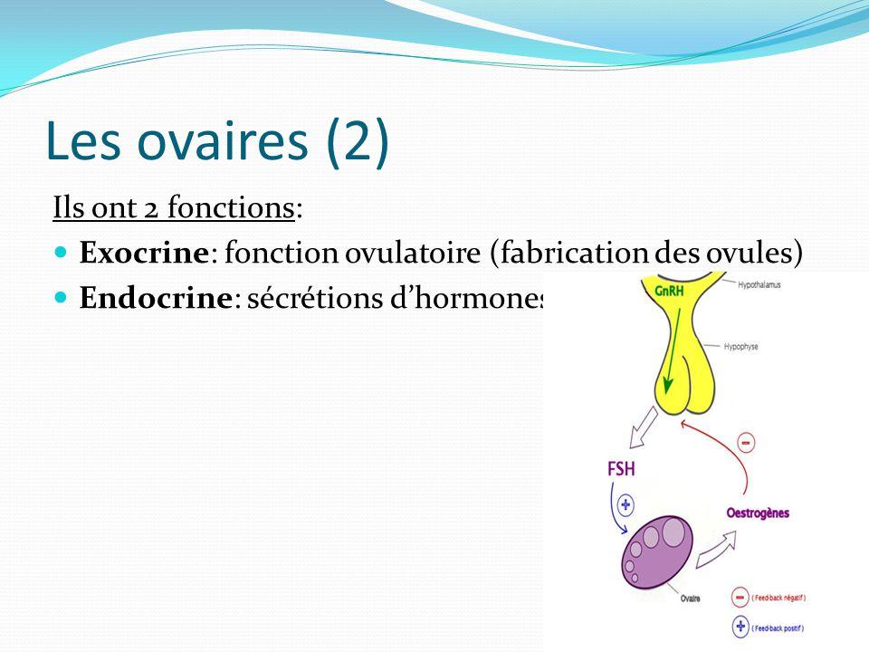 Les ovaires (2) Ils ont 2 fonctions: