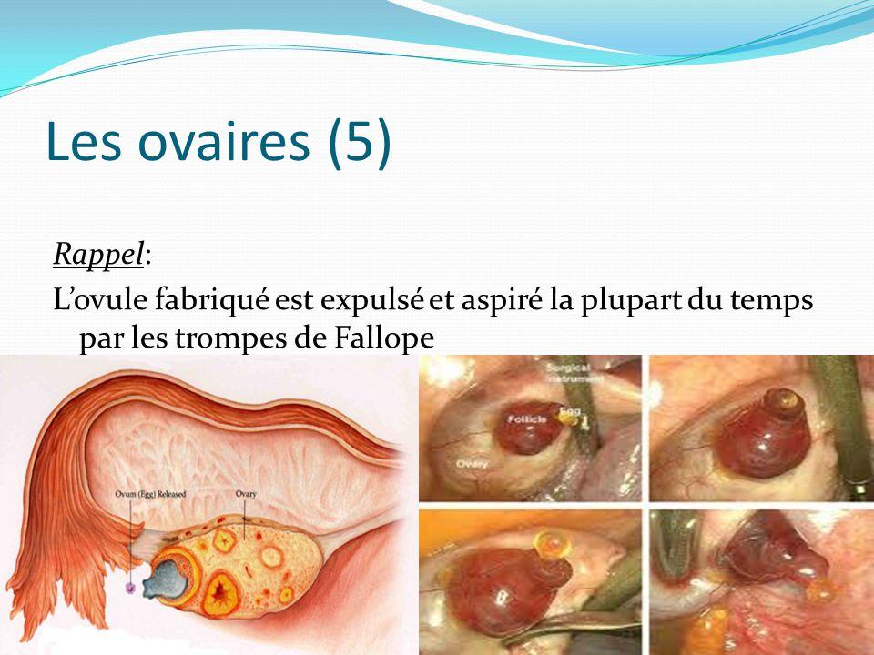 Les ovaires (5) Rappel: L'ovule fabriqué est expulsé et aspiré la plupart du temps par les trompes de Fallope