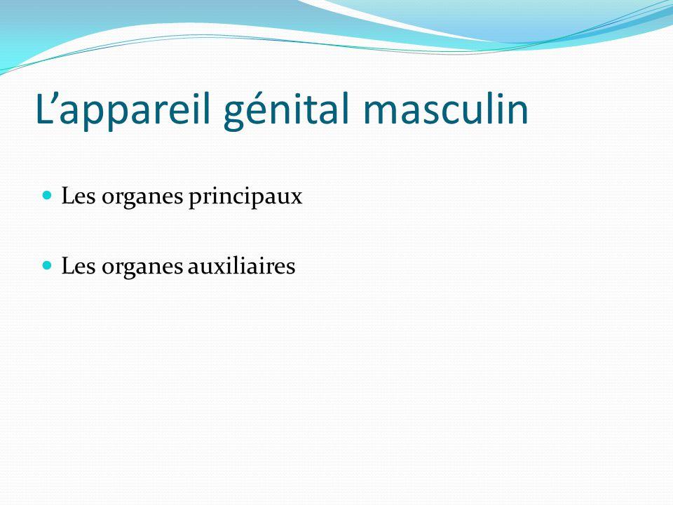 L'appareil génital masculin