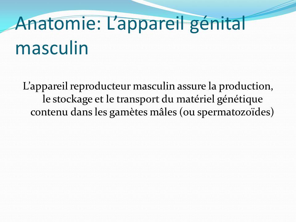 Anatomie: L'appareil génital masculin