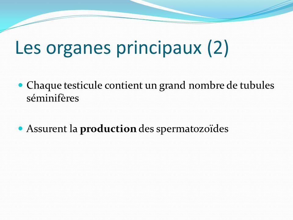 Les organes principaux (2)