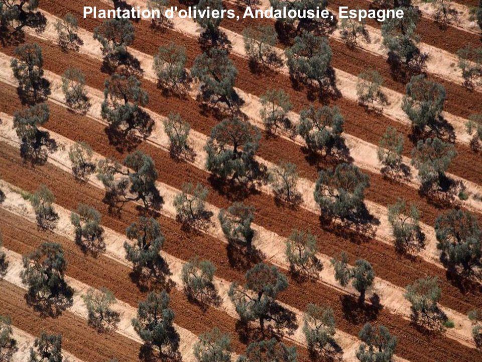 Plantation d oliviers, Andalousie, Espagne