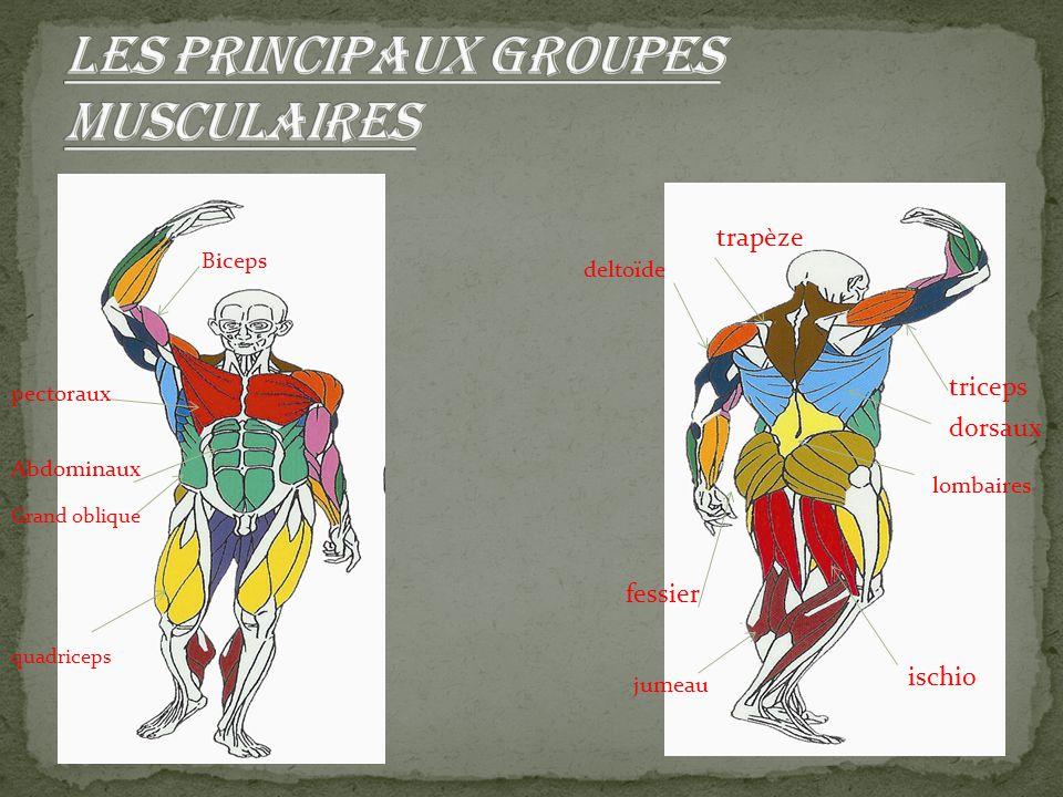 Les principaux groupes musculaires